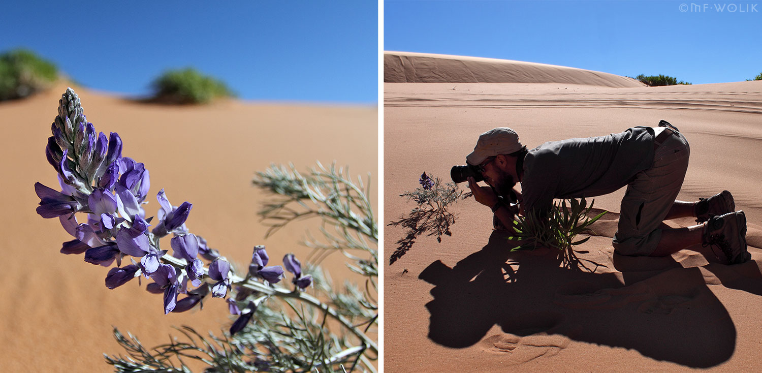 Lupine Amongst the Sand